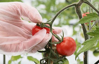 トマトの栽培/野菜のパック詰め|ユニバーサルファーム就労継続支援
