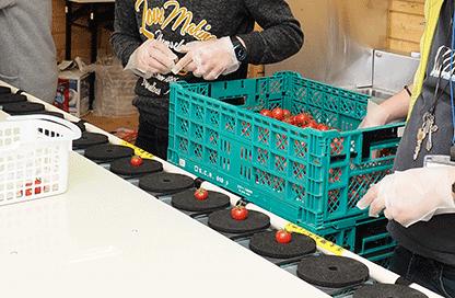 トマト出荷作業|ユニバーサルファーム就労継続支援